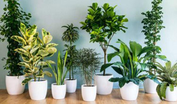 Plantele aducatoare de fericire și noroc pe care trebuie să le ai în casă